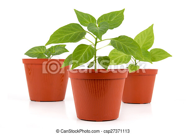 Three Potted hot pepper young plant - csp27371113