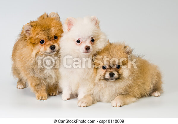 Three puppies of breed a Pomeranian spitz-dog in studio - csp10118609