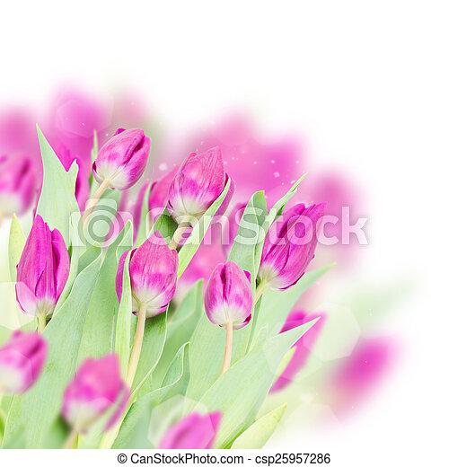 three purple tulip flowers - csp25957286