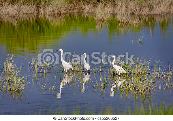 Three Snowy Egrets - csp5266527