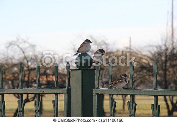 Three sparrows - csp11106160
