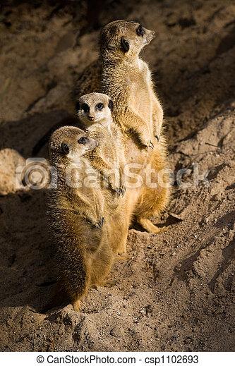 Three Suricates or Meerkats - csp1102693