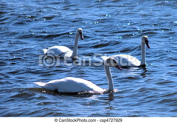 Three Swans Swimming - csp4727929