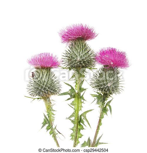 Three Thistle flowers - csp29442504