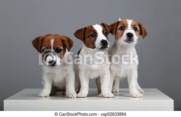 Three Tiny Dogs Gray Background Popular Animals Jack Russell Puppies British Dog Breeds Human S Friend Small Dogs