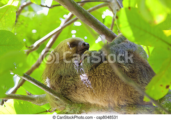 A Three Toed Sloth Sleeping In The Tree In Manuel Antonio National Park