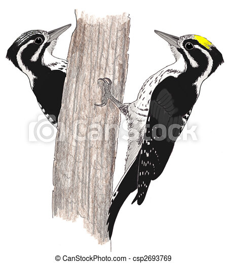 Three-toed Woodpecker - csp2693769