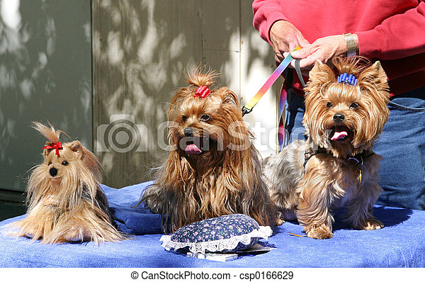 Three Toy Yorkies - csp0166629