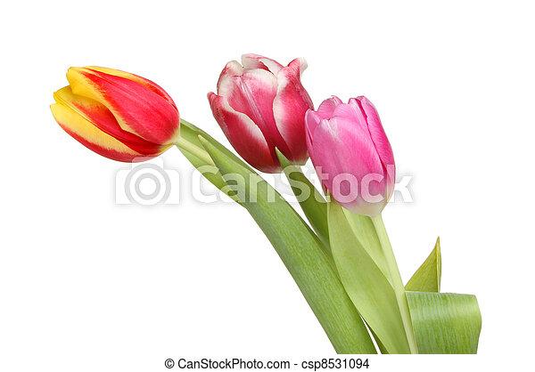 Three tulip flowers - csp8531094