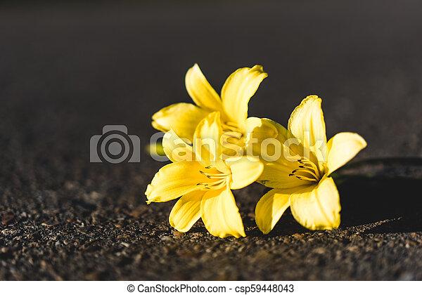 Three yellow Siberian lilies - csp59448043
