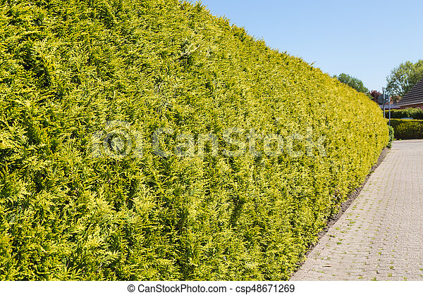 green thuja hedge and paved path