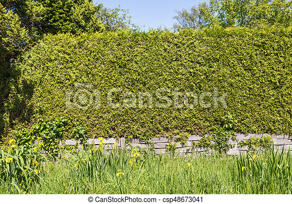 green thuja hedge with grass and yellow iris in the foreground