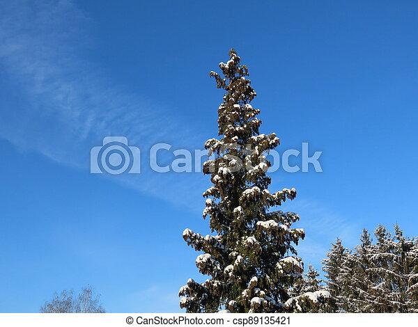 Thuja tree in winter - csp89135421