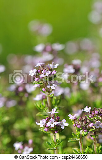 Thyme Flowers Close View Of Small Pink And White Flowers Thyme