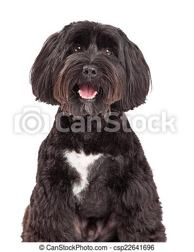 Tibetan Terrier Dog Portrait - csp22641696