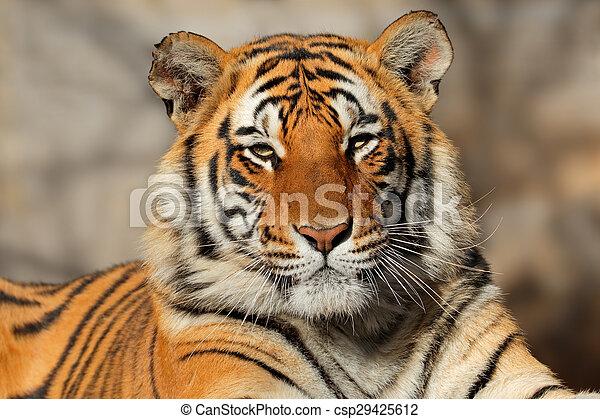 tiger, 肖像, bengal - csp29425612