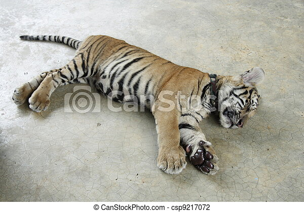 Cute tiger cub sleeping in a zoo tiger cub csp9217072 thecheapjerseys Image collections
