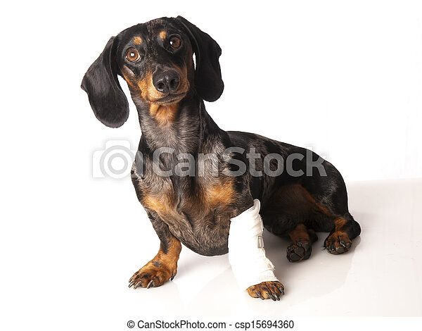 tiger dachshund with a bandage on his leg on a white background - csp15694360