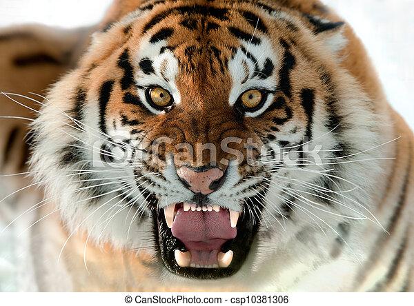 tiger, knurren, sibirisch - csp10381306