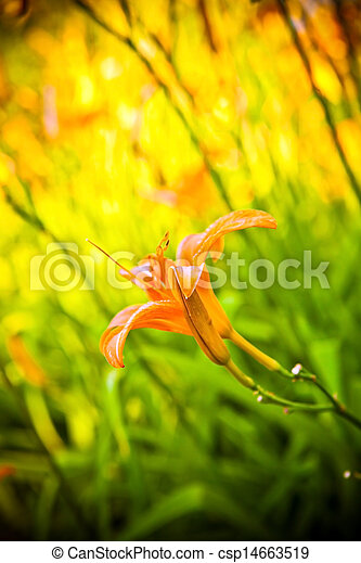 tiger lily in the garden - csp14663519