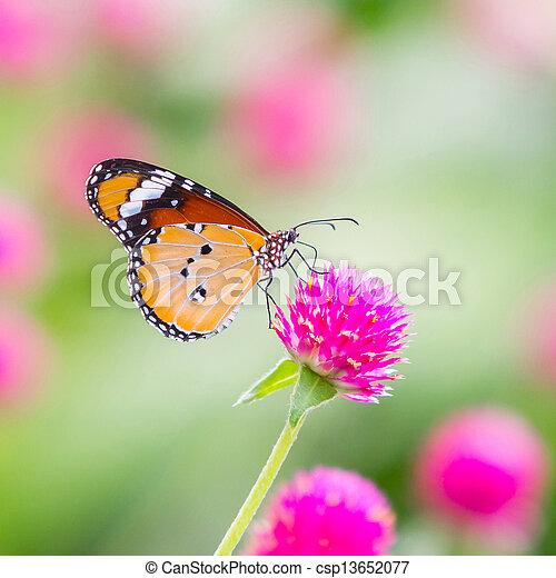 tiger, pianura, farfalla - csp13652077