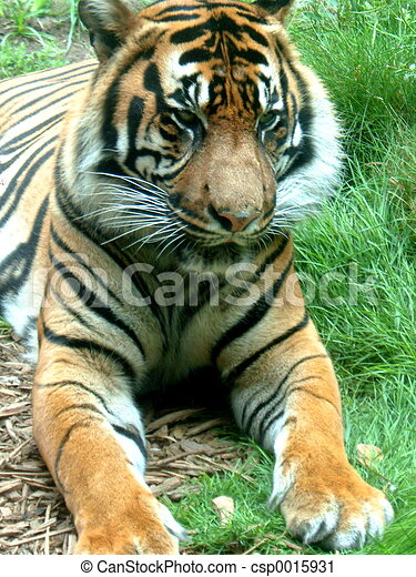 Tiger - csp0015931