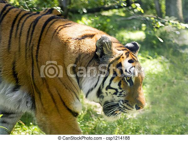 Tiger - csp1214188