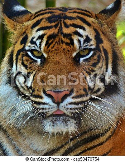 Tiger Portrait - csp50470754