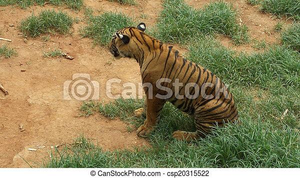 Tiger Sitting in the Sun - csp20315522