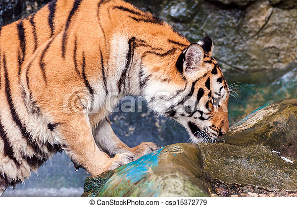 Tiger smelling on the rock - csp15372779