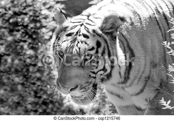Tiger - csp1215746