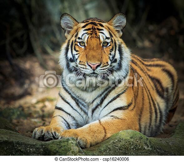 tiger  - csp16240006