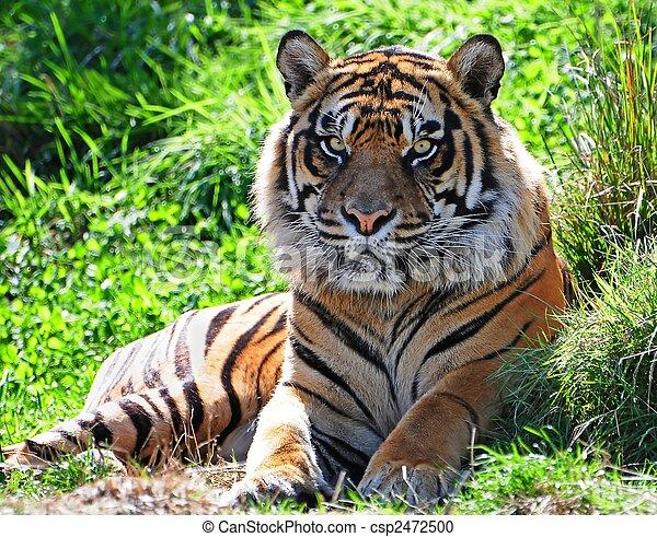 Tiger - csp2472500