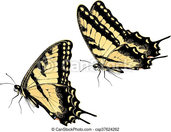 Tiger Swallowtail Butterfly - csp37624262