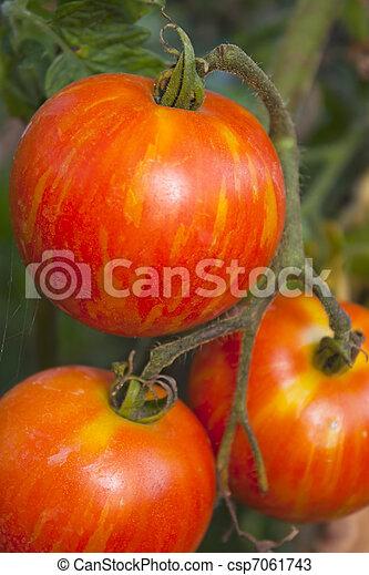 Tigerella heirloom tomato ripening on the vine or plant - csp7061743
