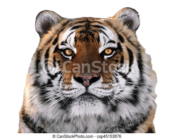 tiger s face close up isolated at white looking at camera