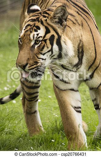 Tigre - csp20766431