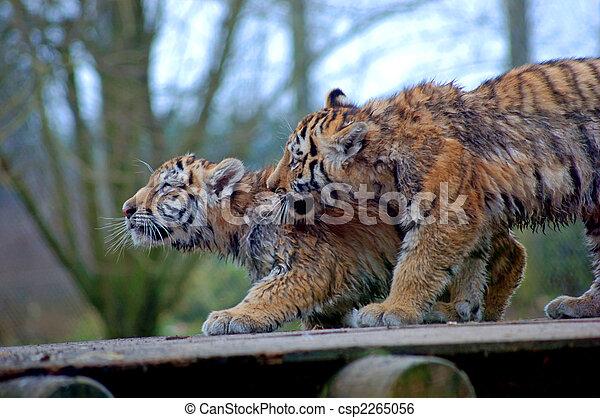 Dos cachorros de tigre - csp2265056