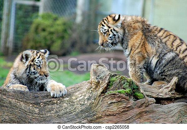 Dos cachorros de tigre - csp2265058