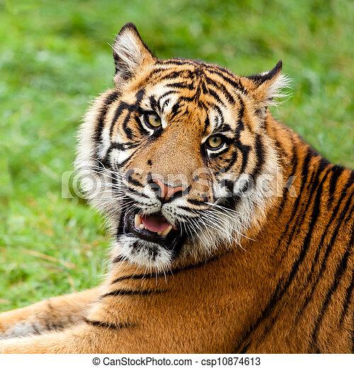 Tigre grogner prise vue t te sumatran tigris grogner - Image tete de tigre ...