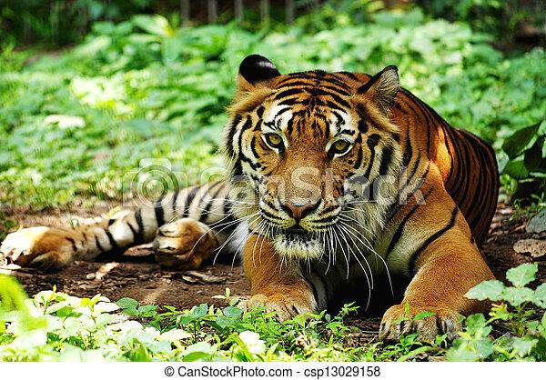 tigre, indochinese - csp13029158