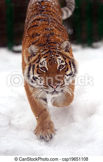 Tigre en invierno - csp19651108