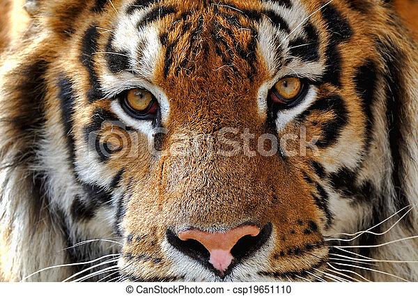 Tigre en invierno - csp19651110