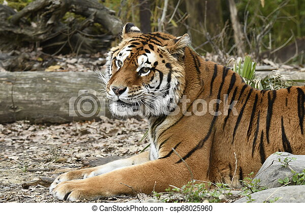 tigre, reposer - csp68025960