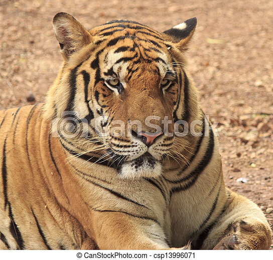 tigre, reposer - csp13996071