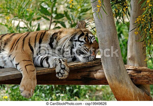 tigre, reposer - csp19949626