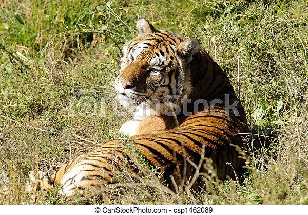 tigre, reposer - csp1462089
