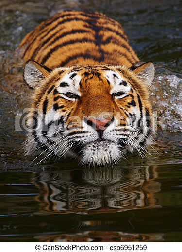 Retrato de un tigre siberiano bañado - csp6951259
