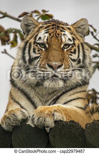 Retrato de tigre - csp22979487