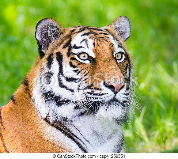 Retrato de un tigre siberiano - csp41259351